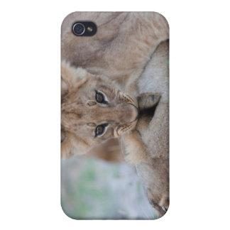 Lion (Panthera leo) cub biting mothers ear, iPhone 4 Case
