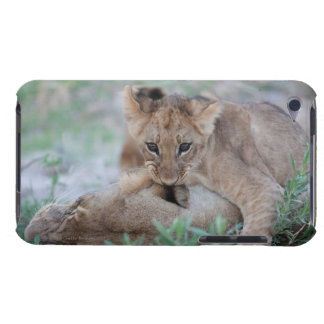 Lion (Panthera leo) cub biting mothers ear, iPod Touch Case-Mate Case