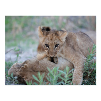 Lion (Panthera leo) cub biting mothers ear, Postcard