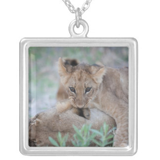 Lion (Panthera leo) cub biting mothers ear, Silver Plated Necklace