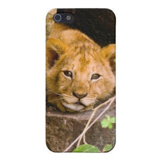 Lion (Panthera Leo) Cub In Cave, Maasai Mara Case For iPhone 5/5S