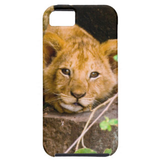 Lion (Panthera Leo) Cub In Cave, Maasai Mara iPhone 5 Cover