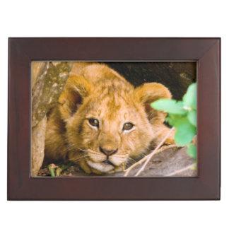 Lion (Panthera Leo) Cub In Cave, Maasai Mara Keepsake Box