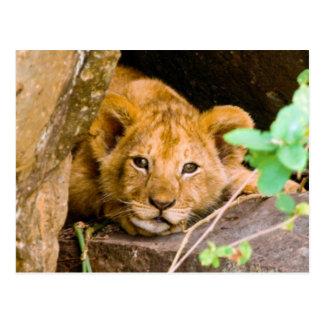 Lion (Panthera Leo) Cub In Cave, Maasai Mara Postcard