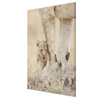 Lion (Panthera leo) cub playing by mothers feet, Canvas Print