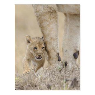 Lion (Panthera leo) cub playing by mothers feet, Postcard