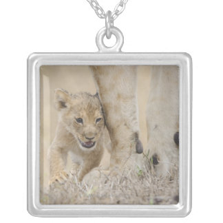 Lion (Panthera leo) cub playing by mothers feet, Silver Plated Necklace