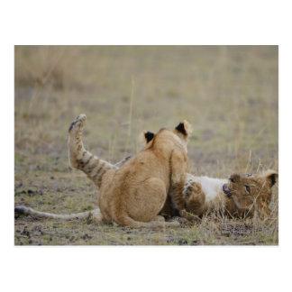 Lion (Panthera leo) cubs playing in grass, Masai Postcard