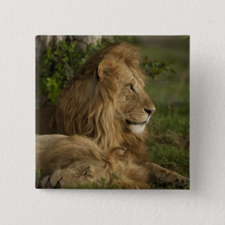 Lion, Panthera leo, Lower Mara, Masai Mara GR, 15 Cm Square Badge