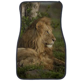 Lion, Panthera leo, Lower Mara, Masai Mara GR, Car Mat