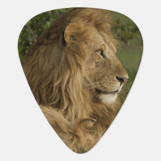 Lion, Panthera leo, Lower Mara, Masai Mara GR, Guitar Pick