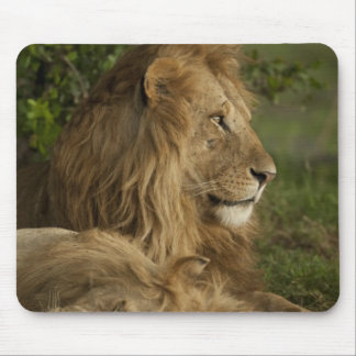 Lion, Panthera leo, Lower Mara, Masai Mara GR, Mouse Mat
