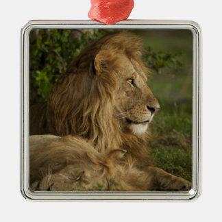 Lion, Panthera leo, Lower Mara, Masai Mara GR, Silver-Colored Square Decoration