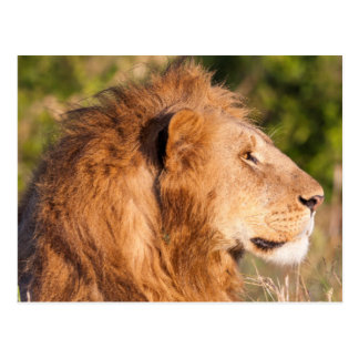 Lion (Panthera Leo) Maasai Mara, Kenya, Africa Postcard