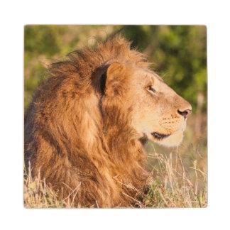 Lion (Panthera Leo) Maasai Mara, Kenya, Africa Wood Coaster