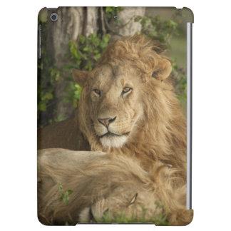 Lion, Panthera leo, males resting