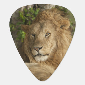 Lion, Panthera leo, males resting Plectrum