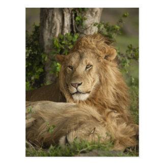 Lion, Panthera leo, males resting Postcard