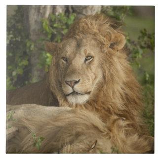 Lion, Panthera leo, males resting Tile