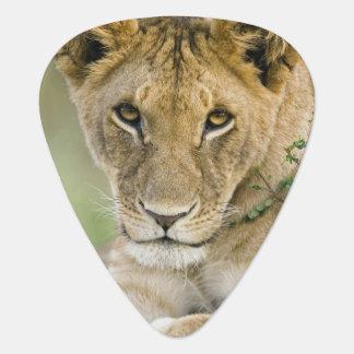 Lion, Panthera leo, Masai Mara, Kenya Guitar Pick