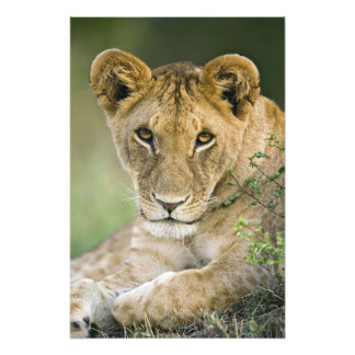 Lion, Panthera leo, Masai Mara, Kenya Photo Print