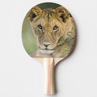 Lion, Panthera leo, Masai Mara, Kenya Ping Pong Paddle