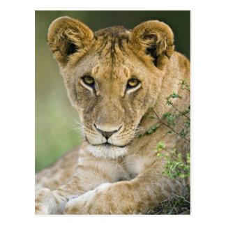 Lion, Panthera leo, Masai Mara, Kenya Postcard