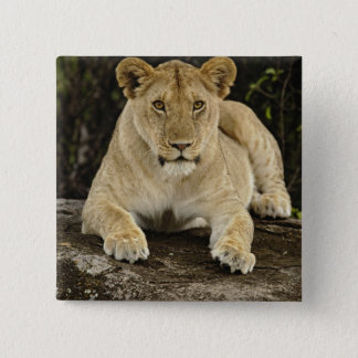 Lion, Panthera leo, Serengeti National Park, 15 Cm Square Badge