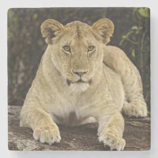 Lion Panthera leo Serengeti National Park Stone Coaster