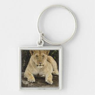 Lion, Panthera leo, Serengeti National Park, Key Ring
