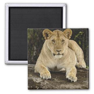 Lion, Panthera leo, Serengeti National Park, Fridge Magnets