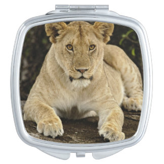 Lion, Panthera leo, Serengeti National Park, Makeup Mirror
