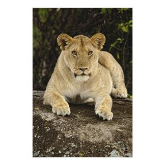 Lion Panthera leo Serengeti National Park Photo Print