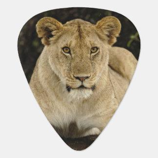 Lion, Panthera leo, Serengeti National Park, Plectrum