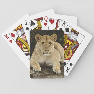 Lion, Panthera leo, Serengeti National Park, Poker Deck