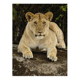 Lion, Panthera leo, Serengeti National Park, Postcard