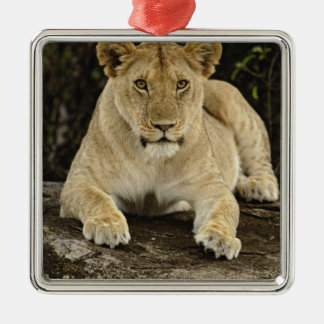 Lion, Panthera leo, Serengeti National Park, Silver-Colored Square Decoration