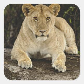 Lion, Panthera leo, Serengeti National Park, Square Sticker