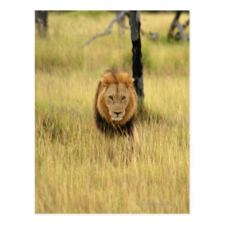 Lion Panthera leo walking in a forest Postcard