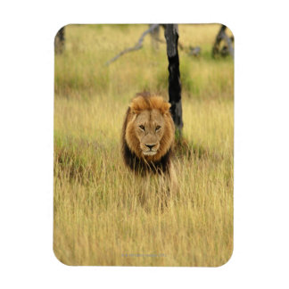 Lion (Panthera leo) walking in a forest, Rectangular Photo Magnet