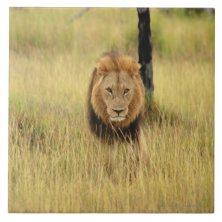 Lion (Panthera leo) walking in a forest, Tile