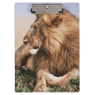 Lion resting in grass clipboard