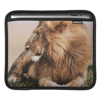 Lion resting in grass iPad sleeve