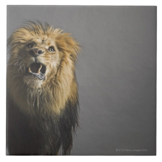 Lion roaring tile