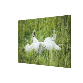 Lion rolling in the tall grass, Africa Canvas Print