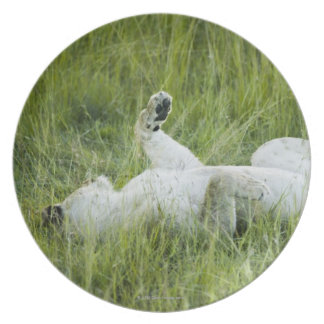 Lion rolling in the tall grass, Africa Plate