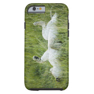 Lion rolling in the tall grass, Africa Tough iPhone 6 Case