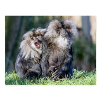 Lion-tailed Macaque monkey photo postcard