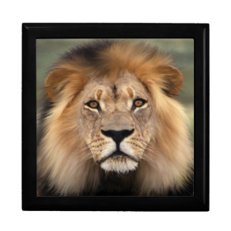 Lion - The King of The Jungle Large Square Gift Box