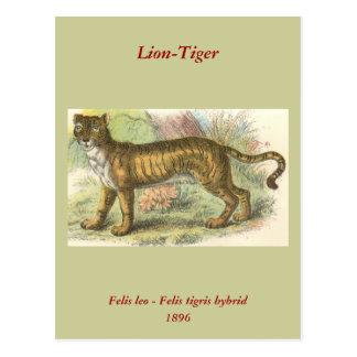 Lion-Tiger  (Felis leo Felis tigris hybrid) Postcard
